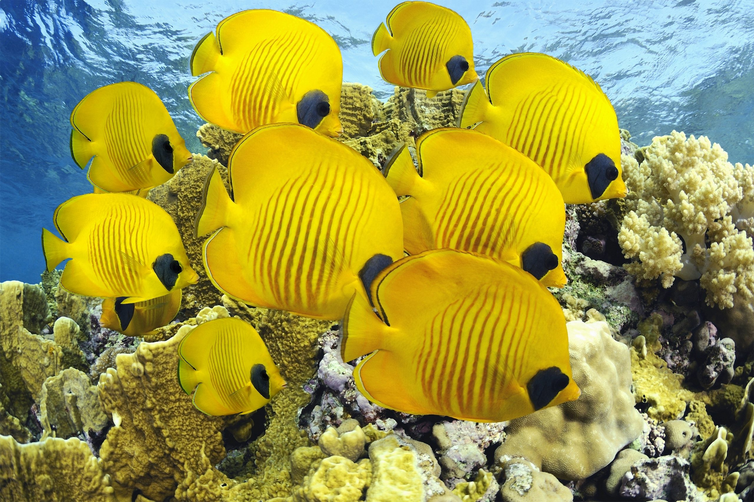 Beautiful Wallpaper Horse Colorful - school-of-butterfly-fish  Picture_319877.jpg