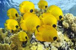 school-of-butterfly-fish