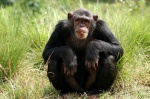 chimp_Craig_R_Sholley